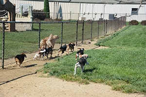 beagles and golden retrievers running up and down a chain link fence.