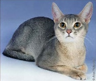 The Abyssinian Cat Breed