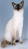 The Balinese Cat Breed