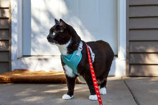 Black and white tuxedo cat wearing a cat walking harness and standing on a porch