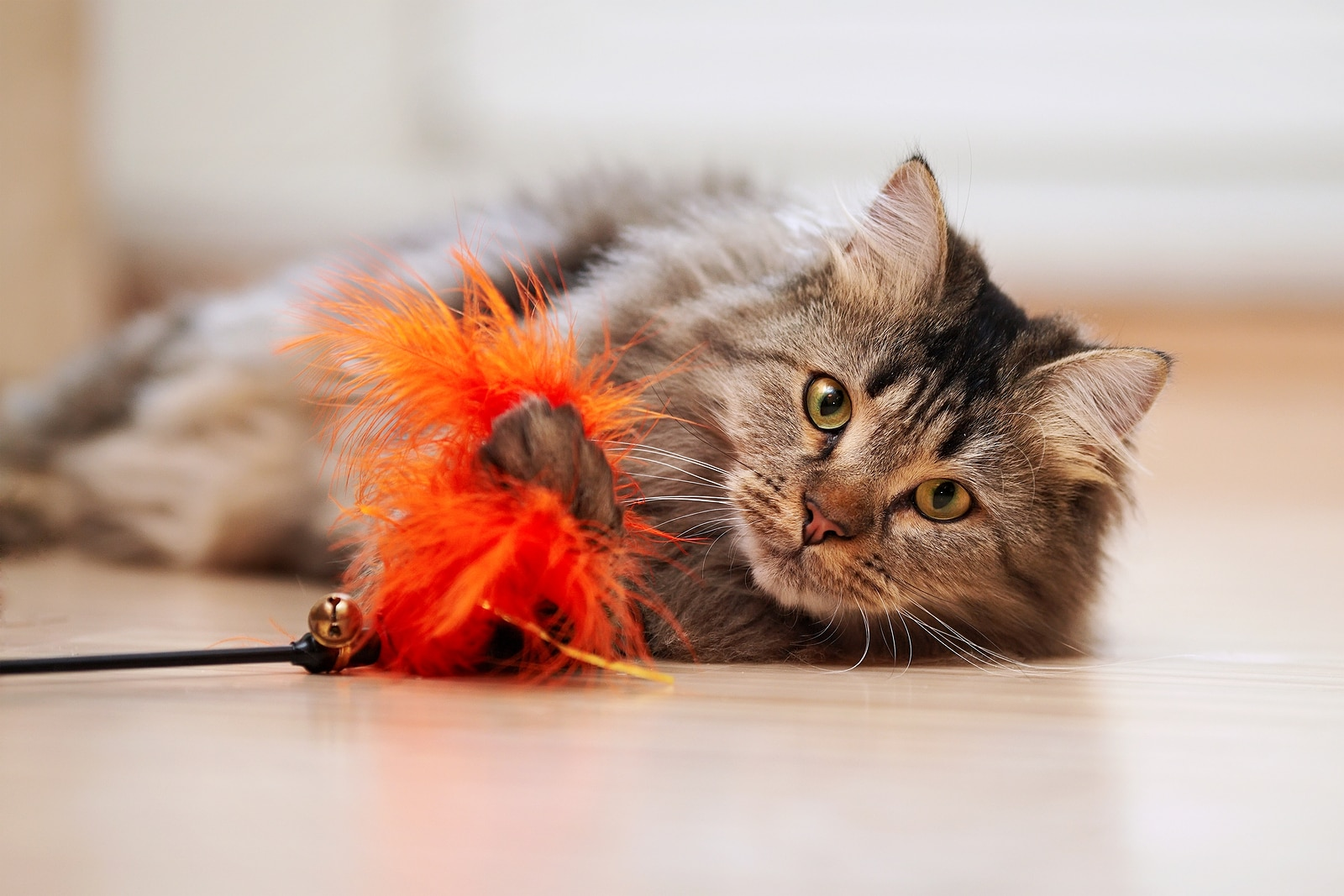 Maine coon playing with orange cat toy on ground.