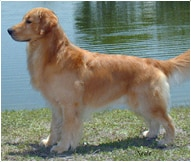 Golden Retriever Dog Breed Facts And