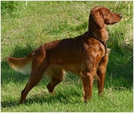 Irish Setter Dog Breed Facts And