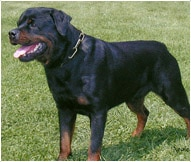 Rottweiler Dog Breed Facts And Personality Traits Hill S Pet
