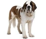 The Saint Bernard Dog Breed