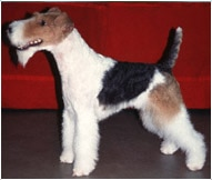The Wire Fox Terrier Dog Breed