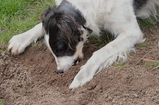 Black and white dog eats dirt.