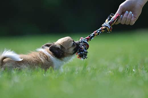 Chihuahua puppy play game with rope toy in woman hand on a green grass
