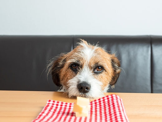 Scruffy looking dog with head on table stares at plate with cheese.