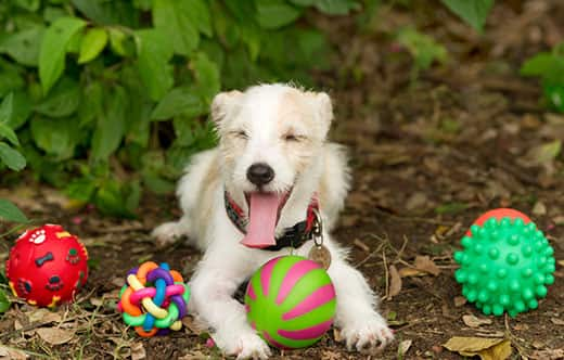 Scruffy dog smiling lays in woodchip flower bed with four dog toy balls next to them.