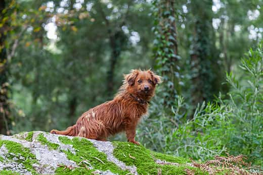 Red, mangy looking dog sits on a rock in the forest.