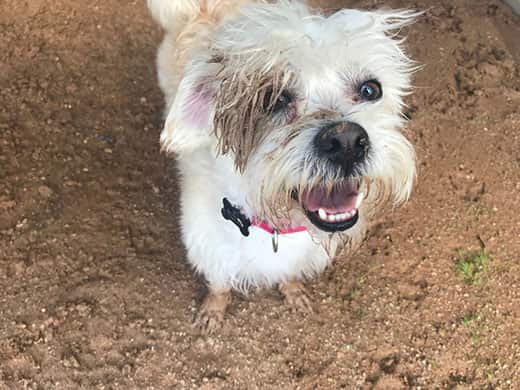 Scruffy white terrier covered in dirt looking up smiling.