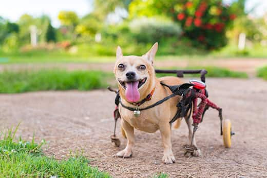 Three-legged Chihuahua with a wheel chair and tongue out while standing outside.