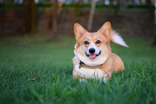 Smiling Welsh corgi pembroke dog lying down in the green grass