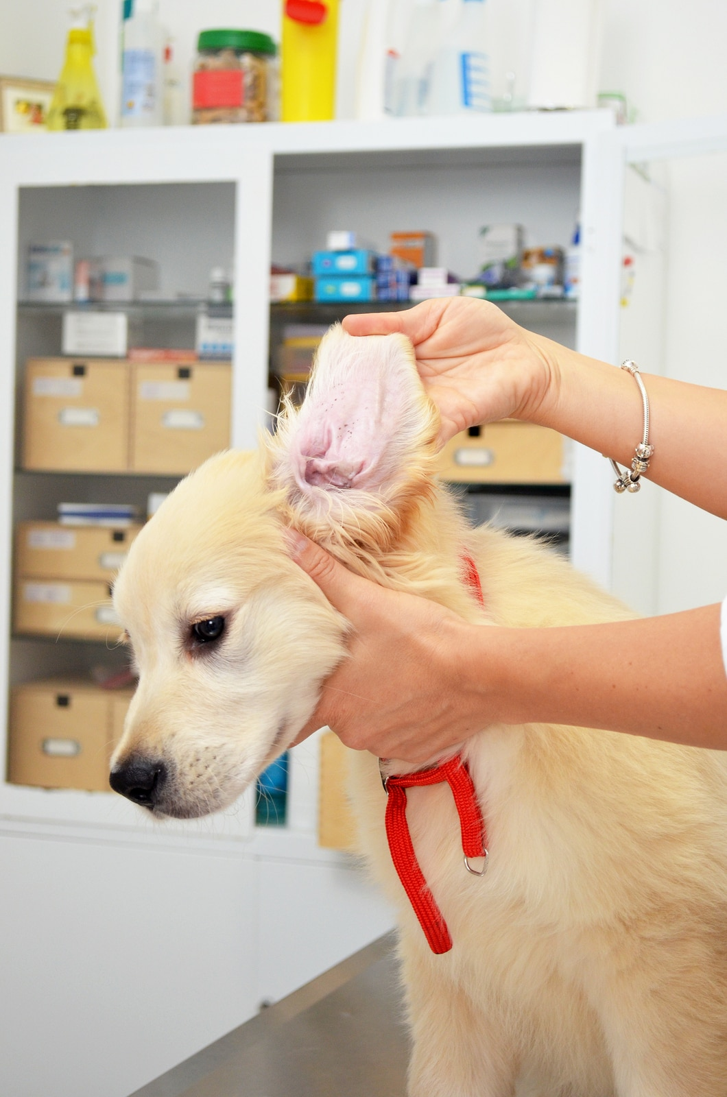 Golden retriever at vets having his ears checked