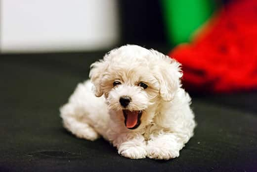 cute small bichon frise puppy laying on sofa yawning.