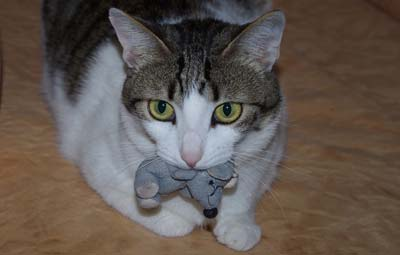 Brown and white cat with big yellow eyes lies down with a stuffed toy mouse in her mouth.