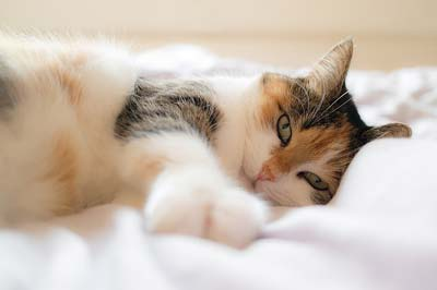 Long-haired calico cat lying on a white bed spread stretching.