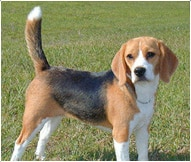 Beagle Dog Breed Facts And